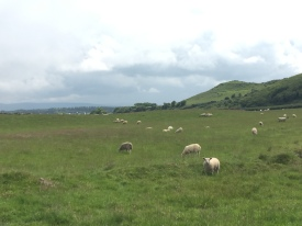 Sheep grazing on the drive down the Antrim Coast